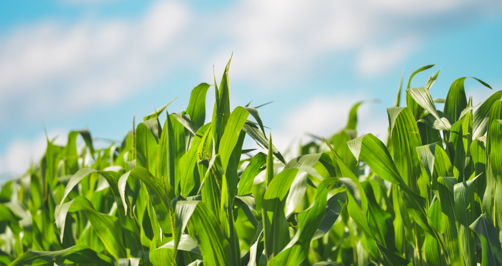 farm insurance security for crops like corn